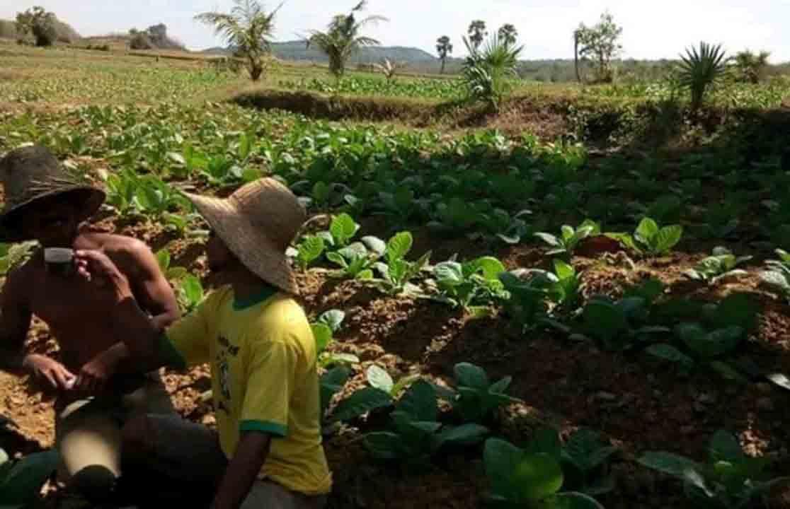 Sumenep Kekurangan Tenaga Penyuluh Pertanian Koran Madura