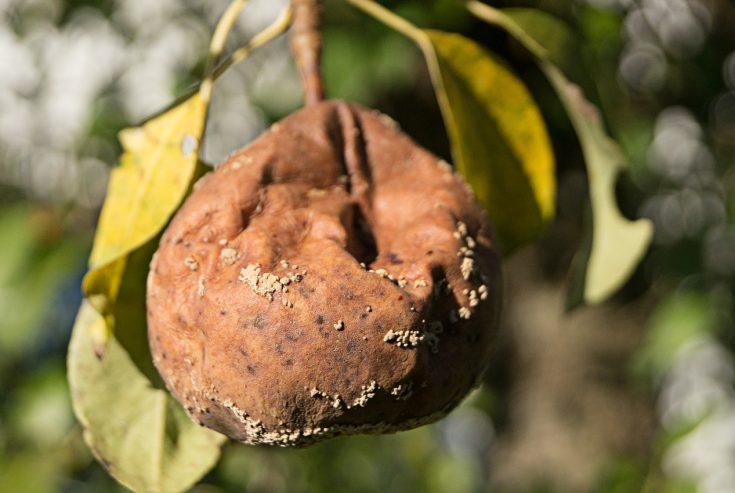 Petugas di Pamekasan Temukan Buah Pir Busuk dan Durian Berjamur di Toko Modern