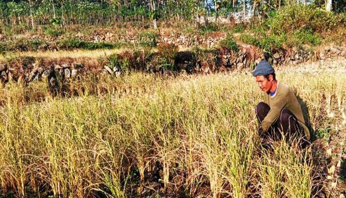 Produksi Padi di Bangkalan Tahun ini Tak Capai Target